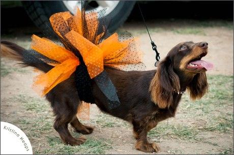 2013-April-weiner-dog-races-7